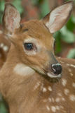 A Young Fawn Stock Photo