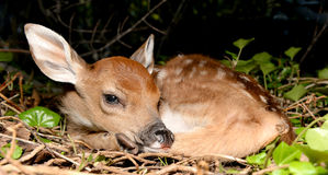 Young fawn. A young fawn resting in a ivy patch Stock Images
