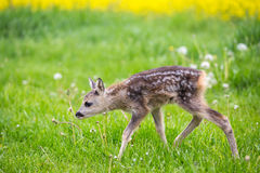 Young fawn standing in grass. Summer fauna and flora. Stock Photography
