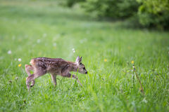 Young fawn standing in grass. Summer fauna and flora Royalty Free Stock Photo