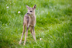 Young fawn standing in grass. Summer fauna and flora. Royalty Free Stock Photo