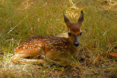 Young fawn in sunlight Royalty Free Stock Photo