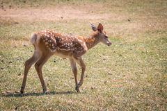 Young fawn Royalty Free Stock Image