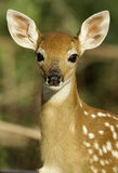 Young Fawn Watching and Listening. Young fawn carefully watching her mom as she feeds nearby Stock Photography