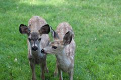 Young fawns Royalty Free Stock Photo