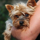 Young, fearful, cowardly modest, male yorkshire terrier. Portrait of a purebred breed dog yorkshire terrier, small in size amid Royalty Free Stock Image