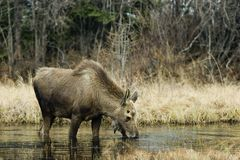 Young feeding moose. Young male moose feeding in shallow pond Stock Photo