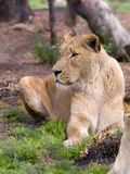 Young female African lioness stock image