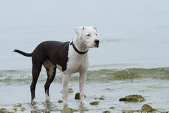 Young female american staffordshire terrier (Amstaff) Royalty Free Stock Images