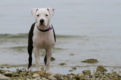 Young female american staffordshire terrier (Amstaff) Stock Images