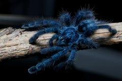 Free Young Female Antilles Pink Toe Tarantula Stock Image - 142886261