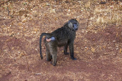 The young female baboon getting wet during the rain. Royalty Free Stock Images