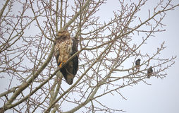 Young Female Bald Eagle and Starlings Royalty Free Stock Images