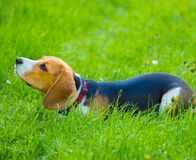 Young female beagle dog lying in grass Stock Image