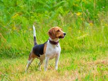 Young female beagle dog with stick Stock Image