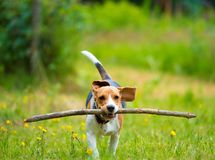 Young female beagle dog with stick. Young female beagle dog in meadow with stick royalty free stock photo