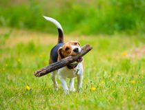 Young female beagle dog with stick Royalty Free Stock Image