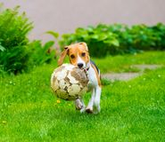 Young female beagle dog with old football Royalty Free Stock Images