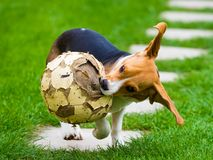 Young female beagle dog with old football Stock Photo