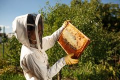 A young female beekeeper in a professional beekeeper costume, inspects a wooden frame with honeycombs holding it in her hands. Col stock photography