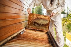 Young female beekeeper pulls out from the hive a wooden frame with honeycomb. Collect honey. Beekeeping concept.  royalty free stock images