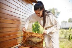 Young female beekeeper pulls out from the hive a wooden frame with honeycomb. Collect honey. Beekeeping concept.  royalty free stock image
