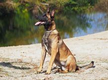 The young female Belgian Malinua portrait. The young dog Belgian Malinua sits on the bank of the lake Royalty Free Stock Photography