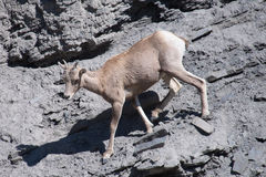 Young Female Bighorn Sheep Royalty Free Stock Image