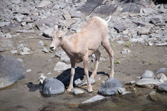 Young Female Bighorn Sheep Stock Photos