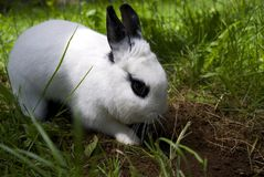 RABBIT DIGGING DIRT. This young female bunny loves to dig holes in the yard Royalty Free Stock Photos