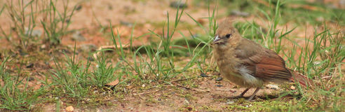 Young Female Cardinal Royalty Free Stock Images
