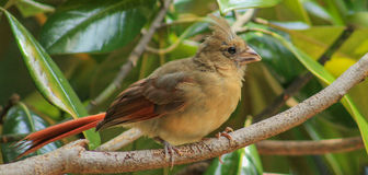 Young Female Cardinal Royalty Free Stock Photo