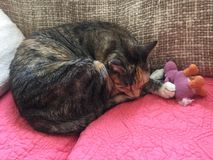 Young female cat resting with teddy. Two year old tabby and tortie girl cat resting on her coral blanket with her pink teddy bear Stock Photos