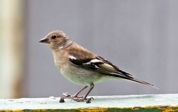 Female Chaffinch sits on the Board. Young female Chaffinch sits on the Board, South Ural Stock Photos