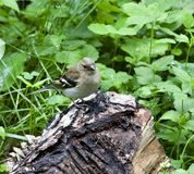 Female Chaffinch sits on the stump. Young female Chaffinch sits on the stump, South Ural Stock Images