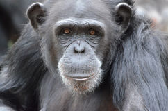 Young female chimp2 Stock Photography