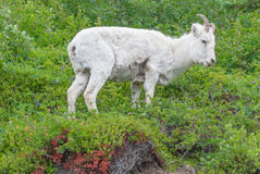 Young Female Dall Sheep Stock Photos