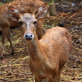 A Young Female Deer Royalty Free Stock Photos