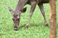 A young female deer eating green fresh grass in national wild zoo Stock Image