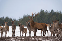 Young Female Deer Group And Adult Deer With Large Antlers Standing In Profile And Dedicated Depth Of Focus. Group Of Different-Age. D Deer  At  Snow-Covered Stock Photos