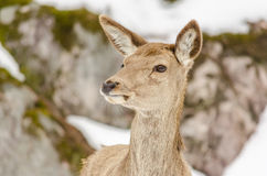 Young female deer. Head of a young female deer royalty free stock images