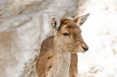 Young female deer. Head of a young female deer stock images