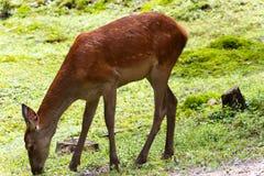 Young female deer-Stock photos Royalty Free Stock Photos