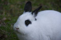 BLACK EYED RABBIT. Young female doe with black eyes and ears and white fur Stock Photos