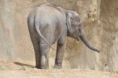 Young female elephant Royalty Free Stock Photo