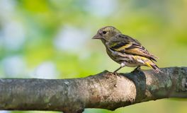 Young female Eurasian Siskin backview perched on a bulky branch stock image