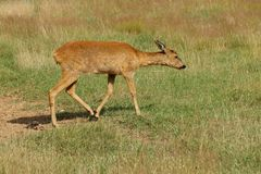 Young female European roe deer. Young female European roe deer walking on the grass Royalty Free Stock Image