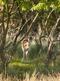 Young female fallow deer Royalty Free Stock Photo