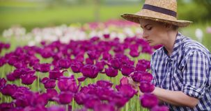 Female Farmer Examining Pink Tulip Flowers At Field. Young female farmer wearing straw hat while examining pink tulip flowers at field stock footage