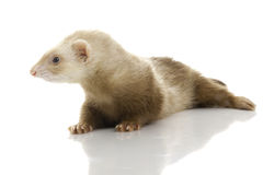 Young female ferret. Stock Photo